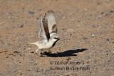 Desert Sparrow Male - Passer simplex - Gorrion del desierto