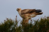 Long-legged Buzzard perched - Buteo rufinus