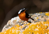 Mousier's Redstart - Phoenicurus mousieri