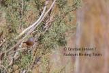 Tristam's warbler