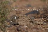 Egyptian Nightjar - Caprimulgus aegyptiacus