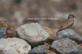 Trumpeter Finch - Bucanethes githaginea