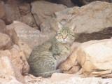 African Wild Cat - Felix silvestris lybica