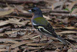 African chaffinch - Fringilla coelebs africana