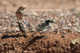 Red-rumped wheatears - Oenanthe moesta - male right, female left