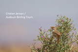 Scrub Warbler - Scrotocerca inquieta