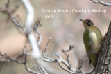 Levaillant's Woodpecker - Picus levaillentii