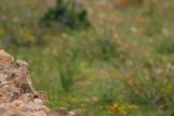 Little Owl - Athenne noctua - Mochuelo - Mussol