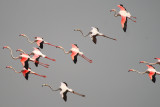 Flamingoes in flight in Souss Massa National Park - Phoenicopterus roseus - Flamencos en vuelo - Flamencs volant