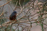 Tristram's Warbler - Sylvia deserticola