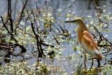 Squacco Heron - Ardeola Rolloides - Garcilla cangrejera - Martinet Ros
