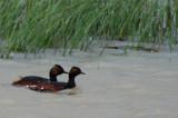 Black necked greebes - Zampullín cuellinegro - Cabussó coll-negre