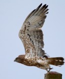 Short toed snake eagle - Circaetus gallicus - Aguila culebrera - Àguila Marcenca