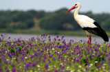 White stork in the flowered spring in doñana