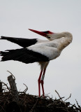 White stork displaying at the nest