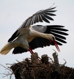White storks in dehesa de abajo landing on the nest