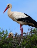 White storks at the nest