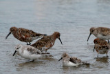 Two Sanderlings (bottom) and four Curlew Sandpipers