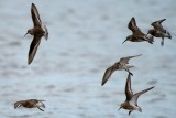 Curlew sandpipers in flight