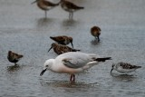 Slender billed gull first summer - Larus genei - Gaviota picofina - Gavina capblanca