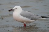 Slender billed Gull under the rain - Larus genei - Gaviota picofina - Gavina capblanca