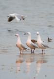 Slender billed Gull - Larus genei - Gaviota picofina - Gavina capblanca