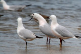 Slender billed Gulls doing the nuptial dance - Larus genei - Gaviota picofina - Gavina capblanca