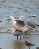 Slender billed Gulls doing the nuptial dance and copulating - Larus genei - Gaviota picofina - Gavina capblanca