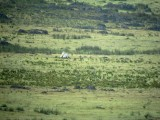 Great Bustard Displaying - Otis tarda - Avutarda - Pioc Salvatge - Grand Outard