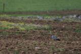 Ault male Montagus Harrier - Circus pygargus - Aguilucho cenizo - Esparver cendrós