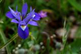 Small blue iris