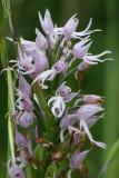 Italian man orchid