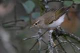 Bonelli's Warbler - Phylloscopus bonelli - Mosquitero papialbo - Mosquiter Pàl·lid