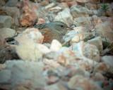 Alpine Accentor - Prunella collaris - Acentor alpino - Cercavores - Alpejernspurv