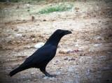 Raven - Corvus corax - Cuervo - Corb