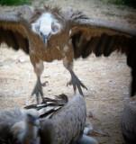 Griffon Vultures - Gyps fulvus - Voltor comú - Buitre leonado - Gåsegrib