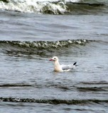 Slender-billed Gull - Larus genei - Gaviota Picofina - Gavina Capblanca