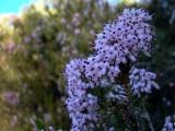 Flowering Heather - Erica multiflora - Bruc d'hivern florit