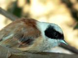 Penduline Tit - Remiz pendulinus - Pajaro moscón - Teixidor