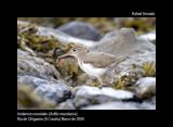Spotted Sandpiper - Actitis macularia - Andarríos maculado - Xivitona Tacada