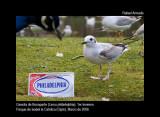 Bonaparte's Gull - Larus philadelphia - Gaviota de Bonaparte - Gavina de Bonaparte