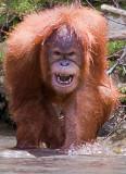 Orang Utans, Sumatra