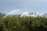 Irrigating the Black Caps