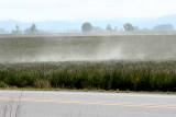 Blowing Grass Pollen