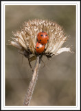 Ladybirds 1 subgallery!