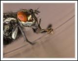 Flies and Hoverflies