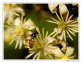 05 - Syrphidae