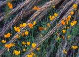 (DES 32) Poppies and Ocotillo Branches, Picacho Peak State Park, AZ