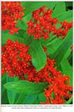 Butterfly-weed, Audubon Wildflower Calendar, 1993