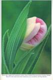 Showy Lady's-slipper, Audubon Wildflower Calendar, 1992